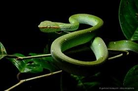 Venemous Bornean Keeled Pit Viper (Tropidolaemus subannulatus)