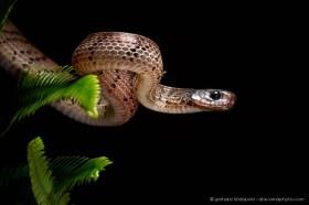 A new species, the Inger's Slug-eating snake (Asthenodipsas ingeri), Kinabalu National Park, Borneo