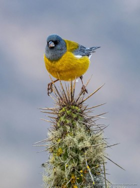 Gray-hooded sierra finch (Phrygilus gayi) balancing on the spines of a cactus at the Chilean desert coast