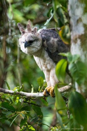 Harpy eagle (Harpia harpyja), the largest raptor of the Americas. Tambopata.