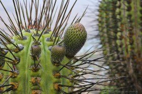 The coastal fog Camanchaca has covered the buds of Eulychnia acida cactus with water droplets