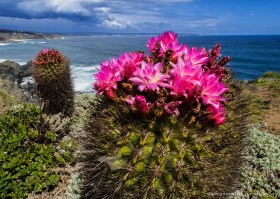 Eriosyce subgibbosa cactus blooming at the coast of central Chile