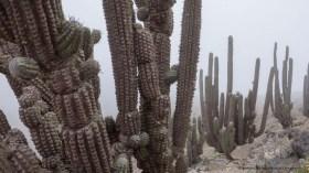 Eulychnia iquiquensis in coastal Camanchaca fog at Morro Moreno National Park near Antofagasta