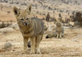 South American Gray Foxes (Lycalopex griseus), Pan de Azucar national park, Atacama Desert