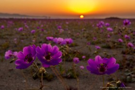 A carpet of Pata de guanaco flowers at sunset, desierto florido Chile 2017
