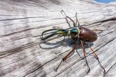 Darwin's beetle (Chiasognathus grantii) or ciervo volante, a bizarre insect of Patagonia . Chaiten volcano.