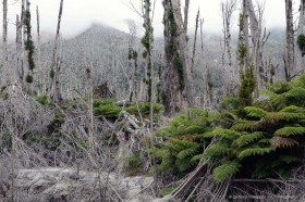 Two years after the erruption of volcano Chaiten, the burned forest slowly starts to recover, Patagonia Chile