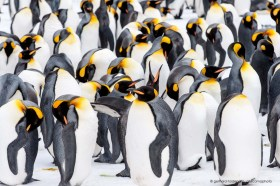 Massive and dense group of king penguins in the snow, Salisbury Plain South Georgia Island
