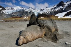 An elephant seal is flipping sand on its back as sun protection, South Georgia
