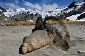 An elephant seal is flipping sand on his back as sun protection, South Georgia