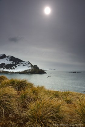 Tussock grass at the coastline of South Georgia