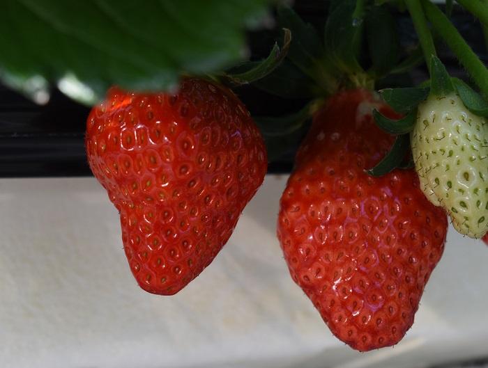 hinokuchien_strawberry