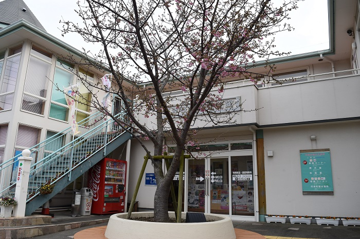 kawazu_cherryblossoms_20190207_1