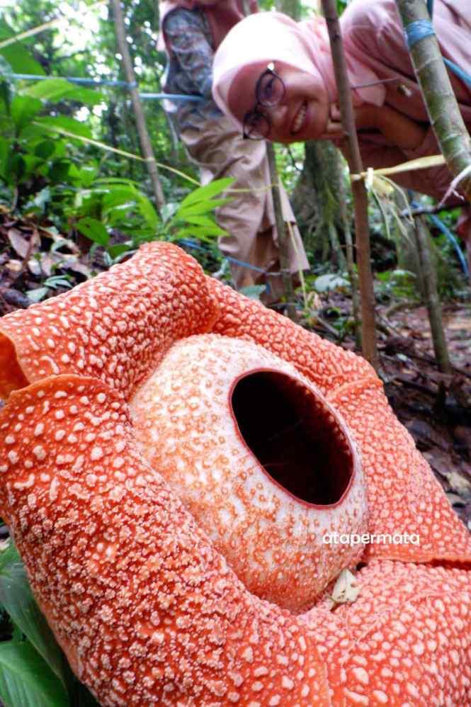 Rafflesia Arnoldii Bengkulu