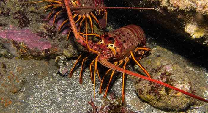 Climate Change, Conservation, And The Lobster Boom