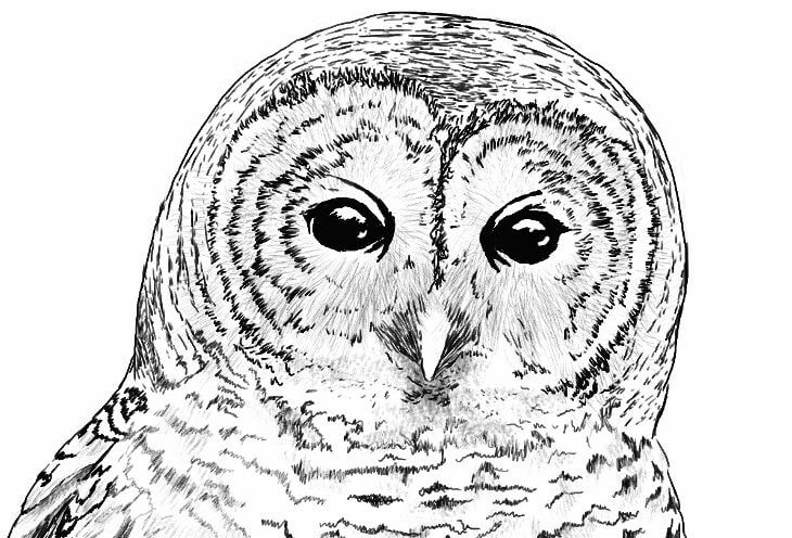Barred Owl Illustration