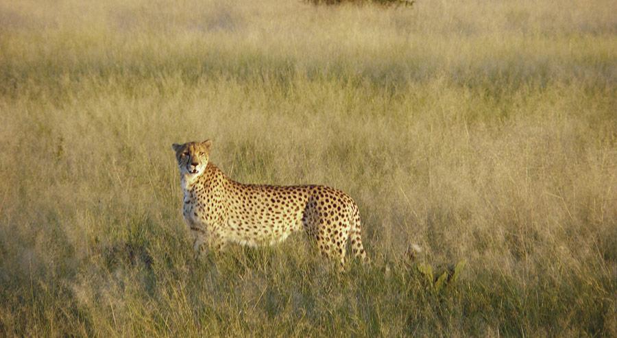Botswana! Cheetah in Chobe Park