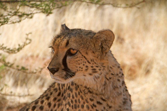 Cheetah Conservation a big success in Namibia
