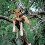 Young Lion in the bush - Family Safari