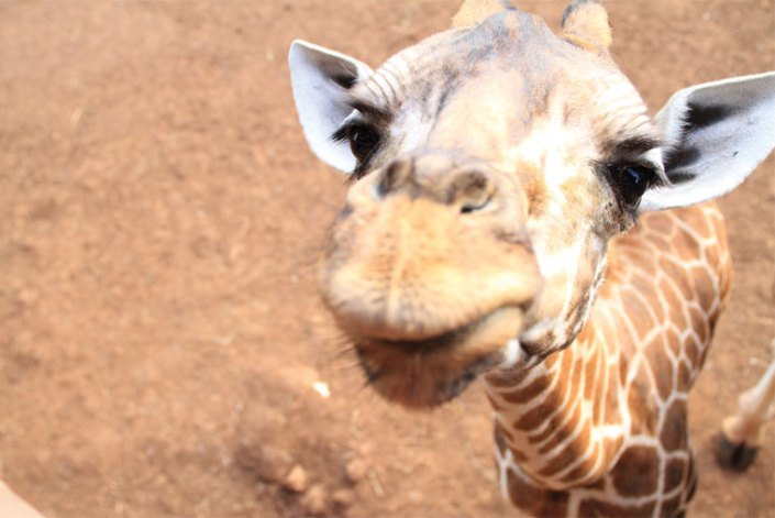Kiss a Giraffe on this Kenya Special Safari