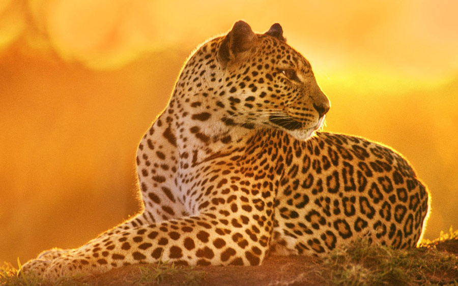 Kenya Luxury Safari - Maasai Mara - Leopard