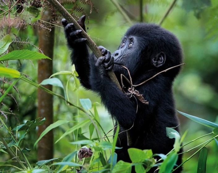 Rwanda Luxury Safari - Baby Gorilla