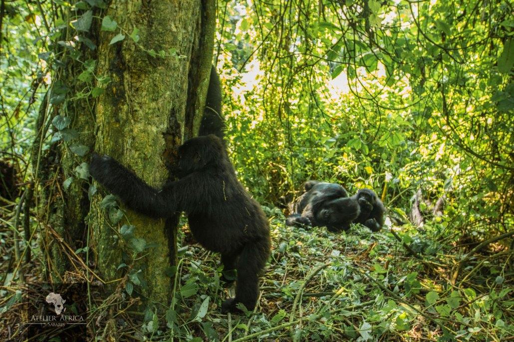 Congo Safari Virunga Park - Gorillas