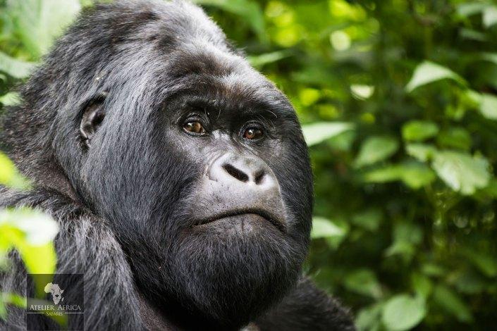 Congo Safari - Silverback Gorilla