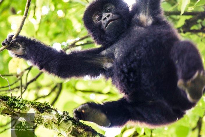 Congo Safari - Baby Gorilla