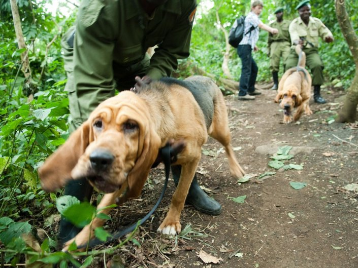 Virunga National Park - Bloodhound anti-poaching unit