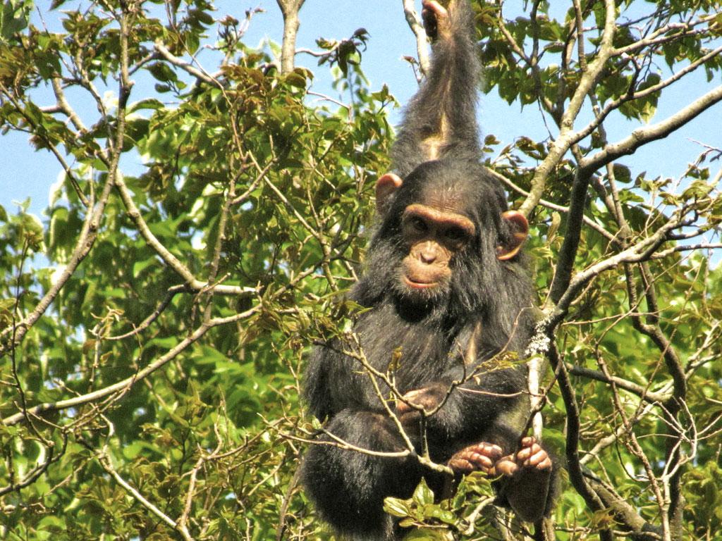 Chimpanzee Habitation Program