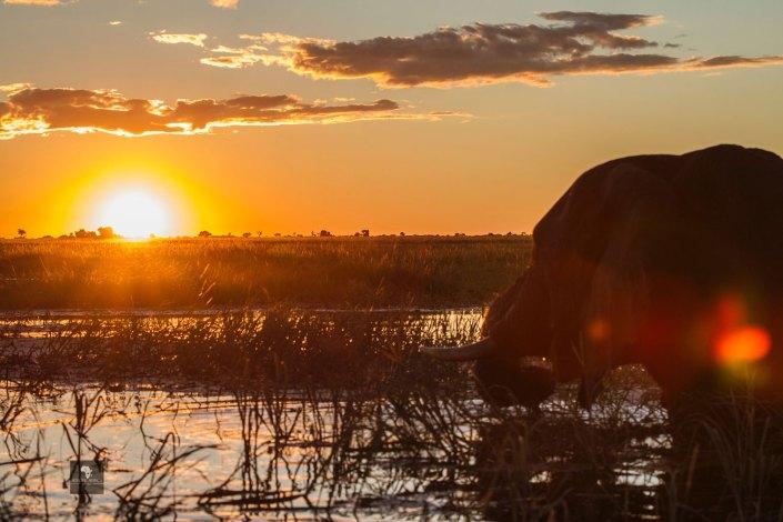 Chobe Bakwena Sunset Elephant