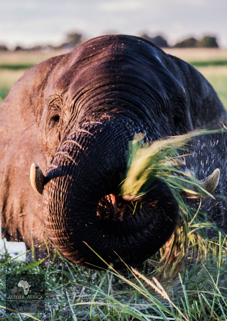 Botswana Chobe Bakwena Elephant - Copyright TimoDeNijs