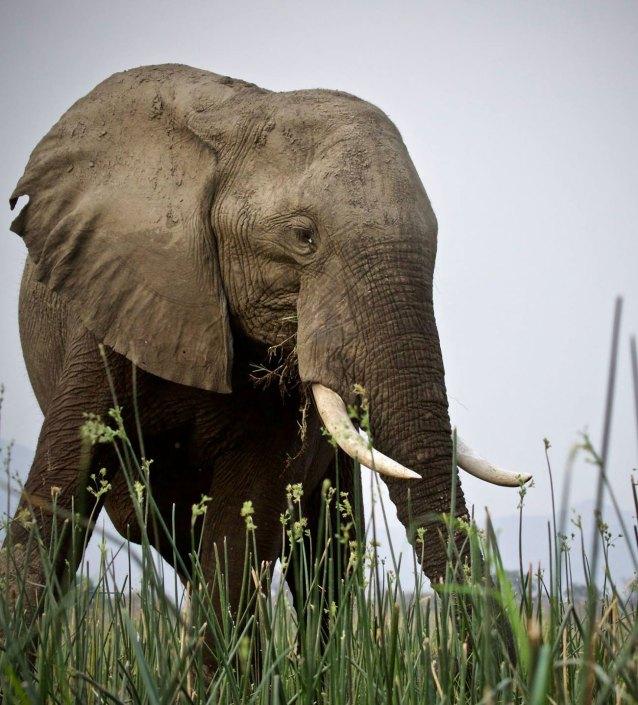 Elephant Mana Pools Zimbabwe