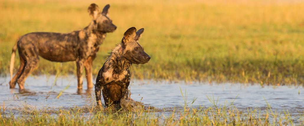 Zimbabwe Safari - Wild Dogs