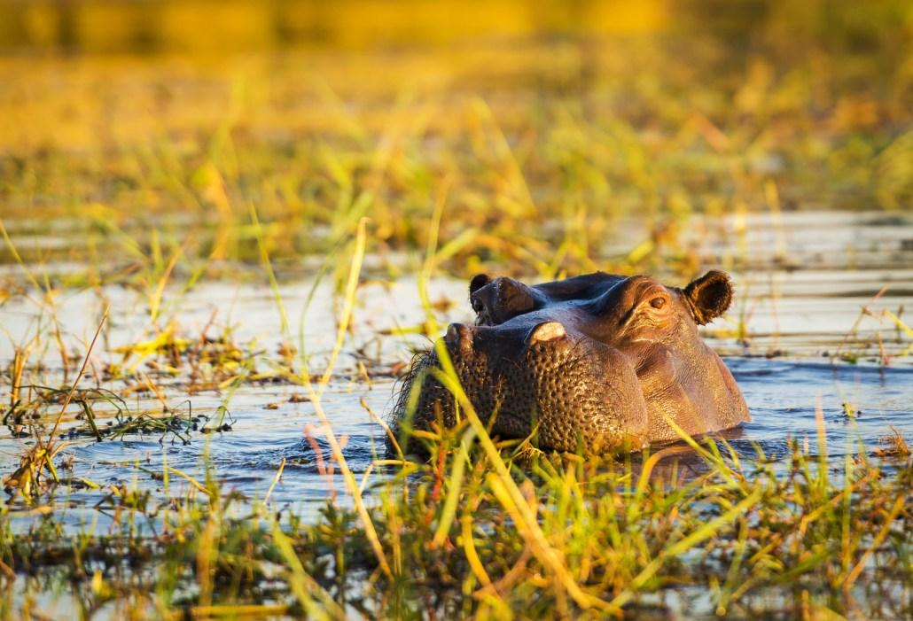 Hippopotamus Chobe River Namibia Luxury Safari