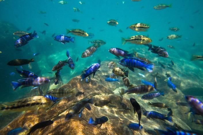 Atelier Africa, Safaris, Malawi, Fish, Animals, Culture, Luxury Safari, Malawi Lake