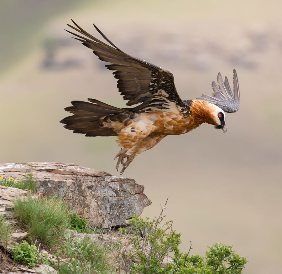 Lammergier of Bonecrusher Vulture