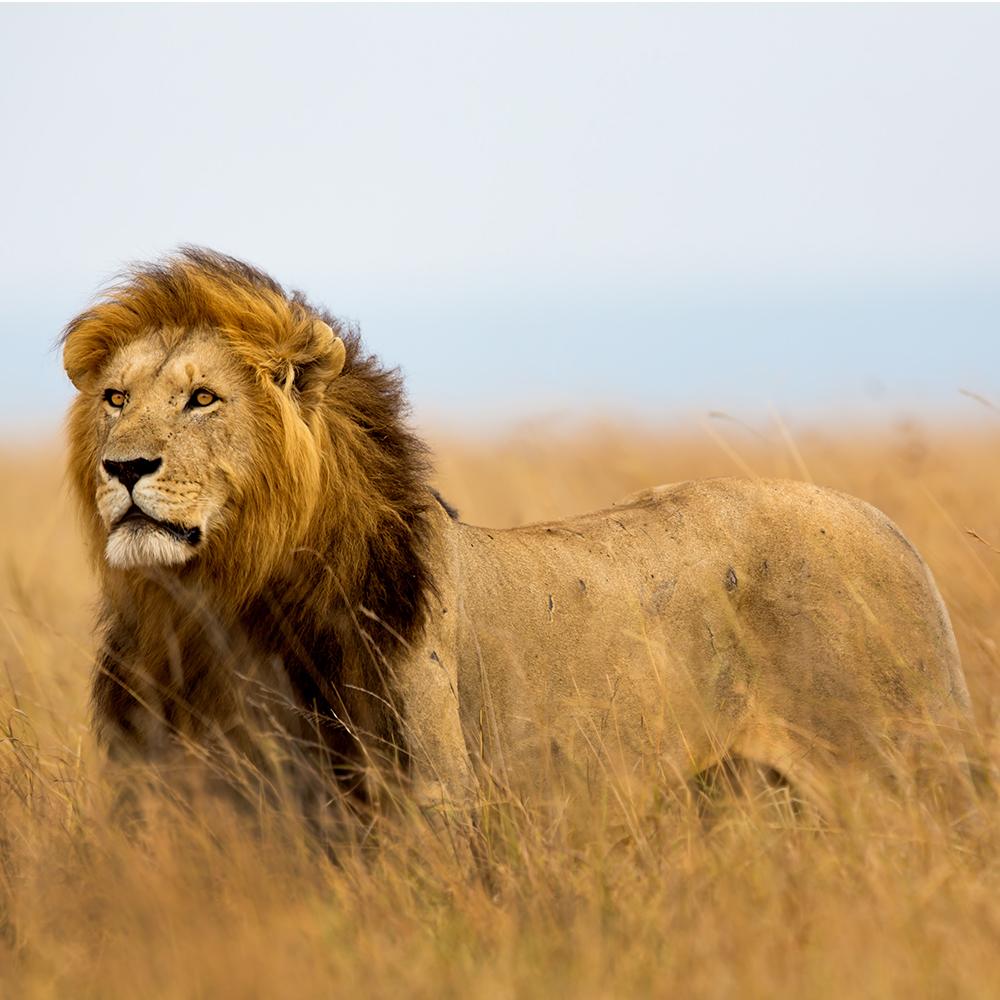 Atelier Africa Safaris Tanzania Lion