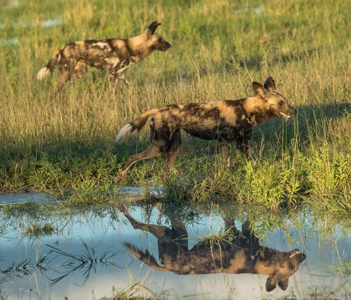 Wild Dogs Zambia Safari