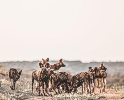 Wild Dog at Omaanda