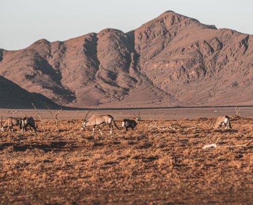 Namib Desert Oryx