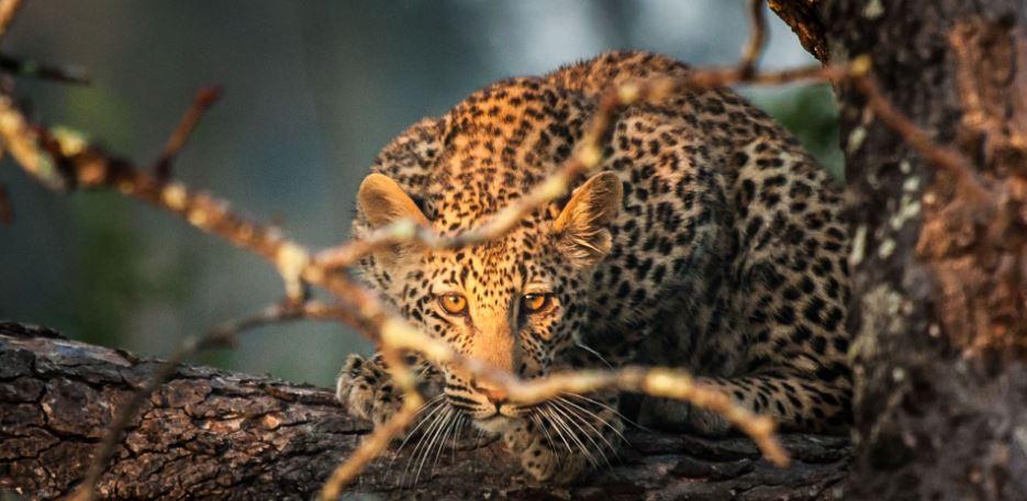 Leopard haunting
