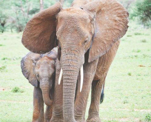 olifanten en jong