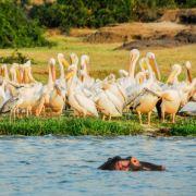 Pelikanen Botswana