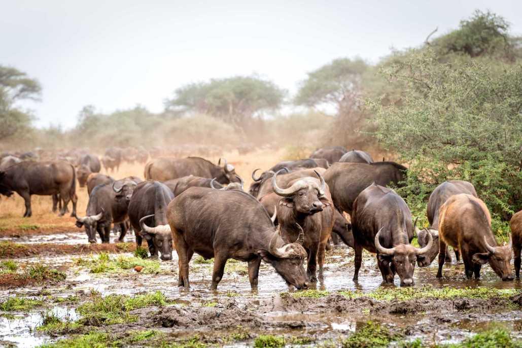 Singita buffels