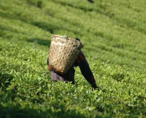 Fields of tea