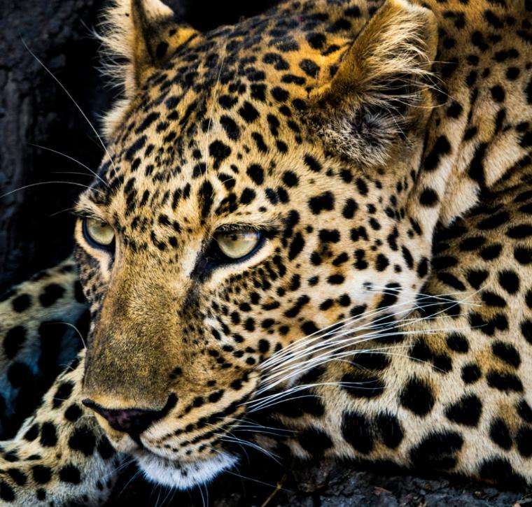 Denkend luipaard