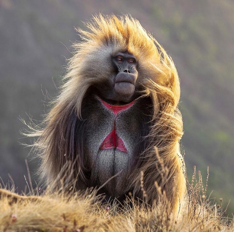 Gelada aap