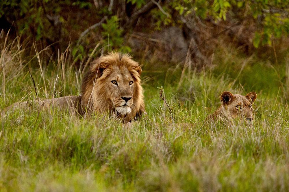 Kafue Zambia Safari Lion